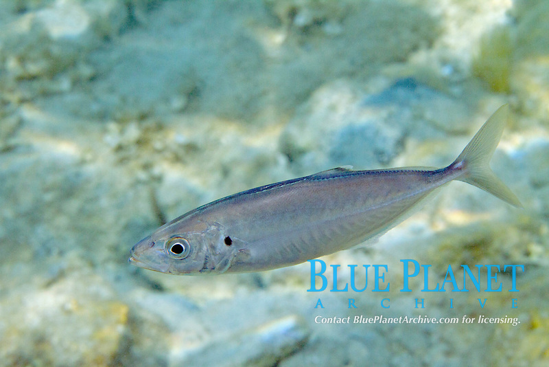 Mediterranean horse mackerel, trachurus trachurus, Aegean, Mediterranean