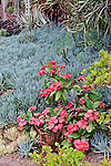 SUCCULENTS; CROWN OF THORNS, EUPHORBIA MILLII HYBRID, AND BLUE KLEINIA, SENECIO ARTICULATUS