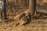 Hen turkey ruffling her feathers in a northern Wisconsin field.