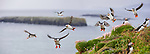 Atlantic Puffins (Fratercula arctica) flying near cliff top, Isle of Lunga, Isle of Mull, Treshnish Isles, Scotland, UK, June.