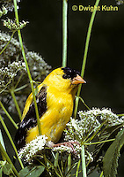 SW05-004a  American Goldfinch - Carduelis tristis