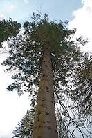Champion tree. Abies grandis, Grand fir at Ardkinglas Woodland garden, Cairndow, Argyll.