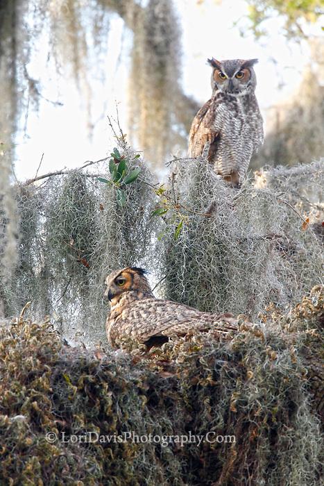 Great horned owl nesting pair
