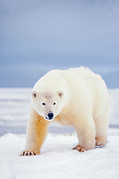 polar bear, Ursus maritimus, on the pack ice of the frozen coastal plain, 1002 area of the Arctic National Wildlife Refuge, Alaska, polar bear, Ursus maritimus
