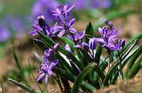 Zweiblättriger Blaustern, Sternhyazinthe, Scilla bifolia, wo-leaf squill, alpine squill
