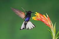 Velvet-Purple Coronet (Boissonneaua jardini), adult feeding on bromeliad flower, Mindo, Ecuador, Andes, South America