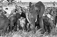 Elephants often travel in family herds led by a matriarch.