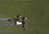 Reiherente, Reiher-Ente, Pärchen, Männchen und Weibchen, Aythya fuligula, Tufted Duck, Fuligule morillon