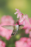 Broad-tailed Hummingbird, Selasphorus platycercus,male in flight feeding on Fringed Bleeding Heart flower(Dicentra eximia),Rocky Mountain National Park, Colorado, USA