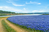 Trail Through the Bluebonnets  -  Texas bluebonnets are thick with this field of wildflowers all through out this park as the trail leads to the water edge. The bluebonnet were so thick just to get to the water the cars made roads through out the park to get to their favorite fishing or swimming spots.  This is part of the Colorado rivers chain that meaders down from Lake Buccanna and flows into Lake Travis along with Lake Austin.  This area is an LCRA Park in Spicewood called Muleshoe Bend Park.  This area for two years had some of the best bluebonnets ever seen and we came here over and over again to try and capture as many shots as we could.  We have so many I am just now putting some out that have been on our personal web site for years.  This event only lasted for two years before the drought was over and the bluebonnets in this area were under water again.  What brought about this bloom of wildflowers was the drought had left the seeds which had washed into this area over the years once they were exposed to sunlight again they seeded so in the spring somehow the seeds were able to germinate and bloom.  The field of bluebonnets were very fragrant and beautiful to see but all good things come to pass when the drought ended then the flowers were gone just like that but for a short time we got to enjoy some of the best bluebonnets in Texas.