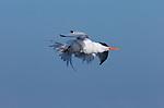 Elegant Tern Wiggle, Bolsa Chica Wildlife Refuge, Southern California