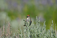 Green-tailed Towhee (Pipilo chlorurus) singing.  Western U.S., summer.