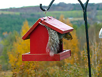 Squirrel peeking out of birdhouse