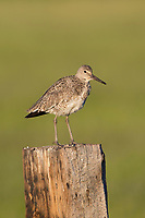 Adult Willet (Tringa semipalmata) on a fence post. Sublette County, Wyoming. June.
