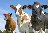 Close up of dairy cows, England.