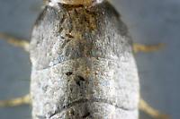 Silberfischchen, Silber-Fischchen, Lepisma saccharina, Silverfish, fishmoth, Fischchen, Zygentoma, Silverfishes, Thysanura