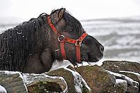 Shetland pony in the snow near High Bentham, North Yorkshire.
