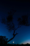 25-second solar eclipse on December 4, 2002, South Australia, gum tree