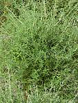 Orange Thyme, Thymus fragrantissima