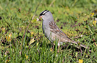 A White-Crowned Sparrow picks dandelion buds for a snack.