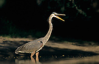 Great Blue Heron, Ardea herodias,adult in pond yawning, Starr County, Rio Grande Valley, Texas, USA