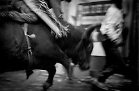 Black & white image of a rodeo - Bull tries to run over cowboy. United States Rodeo.