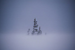 Small stand of conifers during a snowstorm.
