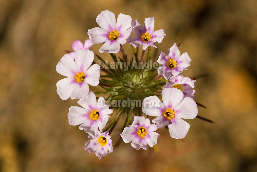 False babystars or common linanthus flowers in bloom, Sierra Nevada Foothills of Calif.--(Linanthus androsaceus)