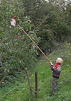 Kind ernte Apfel, Äpfel mit Apfelpflücker, Kultur-Apfel, Kulturapfel, Malus domestica, Apple, Obst, Obsternte, Ernte