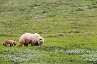 Sow grizzly bear on the tundra in Highway Pass, Denali National Park, Interior, Alaska.