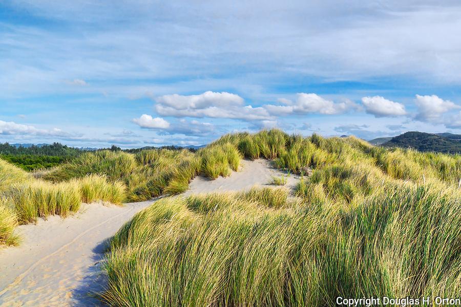 Windblown beach graass on ocean dunes, Nehalem Bay, Nehalem Bay State Park, Oregon.  Probably American Beach Grass but perhaps European, both invasive.  Between the Pacific Ocean and Nehalem Bay, looking north to Manzanita, Oregon