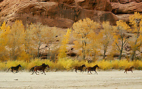 Horses belonging to Navajo Indians running in bottom of Canyon de Chelly National Monument, Arizona, USA