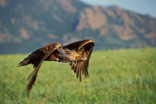 Golden Eagle (Aquila chrysaetos) flying out on the plains just east of the Rocky Mountain Front.  Western U.S., May.