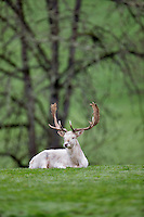 White Fallow Deer. Winston Wildlife Safari, OR