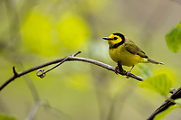 Hooded Warbler (Setophaga citrina), male in breeding plumage on its breeding territory at Doodletown, Bear Mountain State Park, New York.