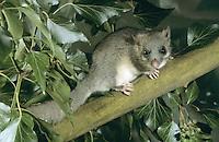 Siebenschläfer, Glis glis, edible dormouse, edible commoner dormouse, fat dormouse, squirrel-tailed dormouse, Schläfer, Bilch, Bilche