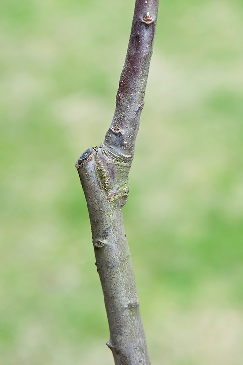 """The """"union"""" is the join where the scion (bud or shoot) from one tree has been grafted on to the rootstock of another. It's visible as a knobbly joint."""