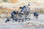 Pack of African painted dog (Lycaon pictus)(sometimes wild dog or hunting dog) with litter of 10 pups. Outside den, Engusoro Plain, Ngorongoro Conservation Area (NCA) / Serengeti. Tanzania.
