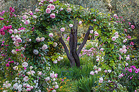Climbing rose 'Pink Eden' on arch over path through California country garden with Olive trees