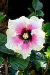 HIBISCUS ROSA-SINENSIS 'HIGH VOLTAGE', CHINESE HIBISCUS