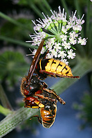 Hornisse mit Beute, Hornissen, Vespa crabro, hornet, hornets, brown hornet, European hornet, Le frelon européen