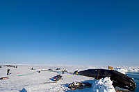 residents of the Inupiaq village of Barrow help the ABC whaling crew pull up a 48 foot 8 inch bowhead whale, Balaena mysticetus, Chukchi Sea, Arctic Alaska