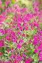 Salvia x jamensis 'Raspberry Royale', early August.