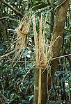 Gaint bamboo - feeding evidence of the Greater Bamboo Lemur (Prolemus simus) (Critically Endangered) Ranomafana NP, south east Madagascar.