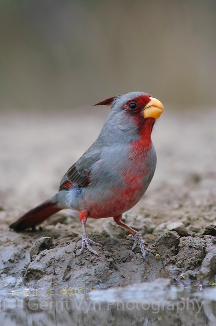 Adult male Pyrrhuloxia (Cardinalis sinuatus) at desert water hole. Starr County, Texas. March.