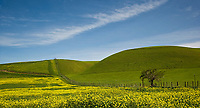 A fine art landscape image of a field of yellow mustard carpeting green hills along a ranch fence leading into the distance, up and over green California hills, framed with blue sky and whisps of white clouds, creating a peaceful and lovely panoramic nature landscape.