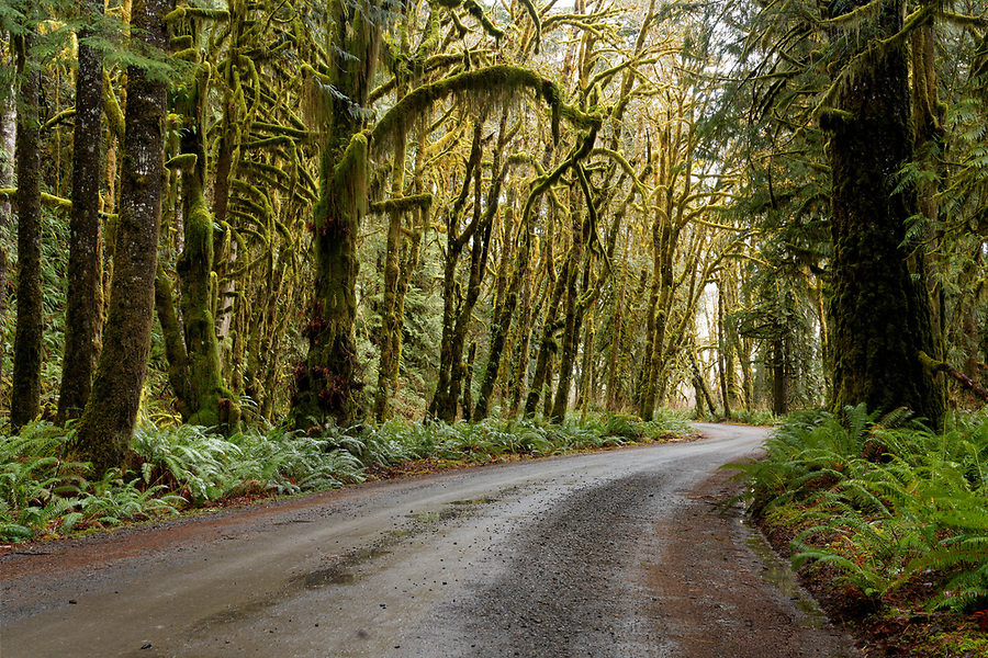 North Shore Road running through rainforest, Quinault Rainforest, Olympic National Park, Jefferson County, Washington, USA