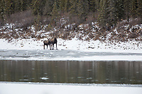 Cow moose and calf along the Koyukuk River, Brooks Range, Arctic, Alaska.
