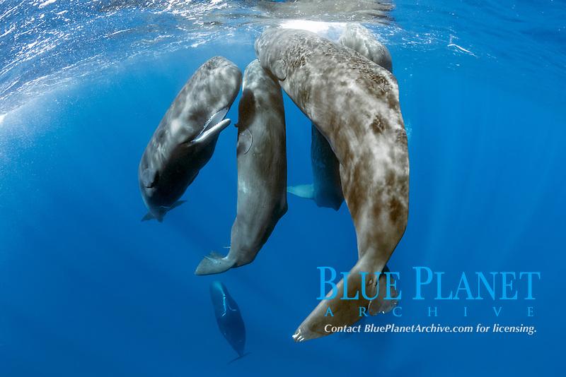 pod of sperm whales socializing, Physeter macrocephalus, Dominica, Caribbean Sea, Atlantic Ocean, photo taken under permit n°RP 16-02/32 FIS-5