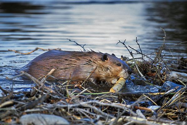 Beaver (Castor canadensis) working on dam.  Western U.S., Nov.